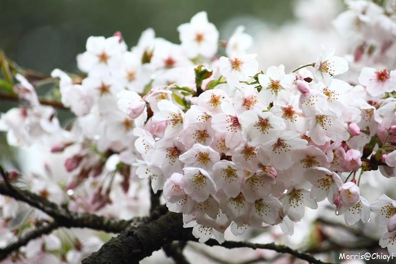 2011 阿里山櫻花季 (154)
