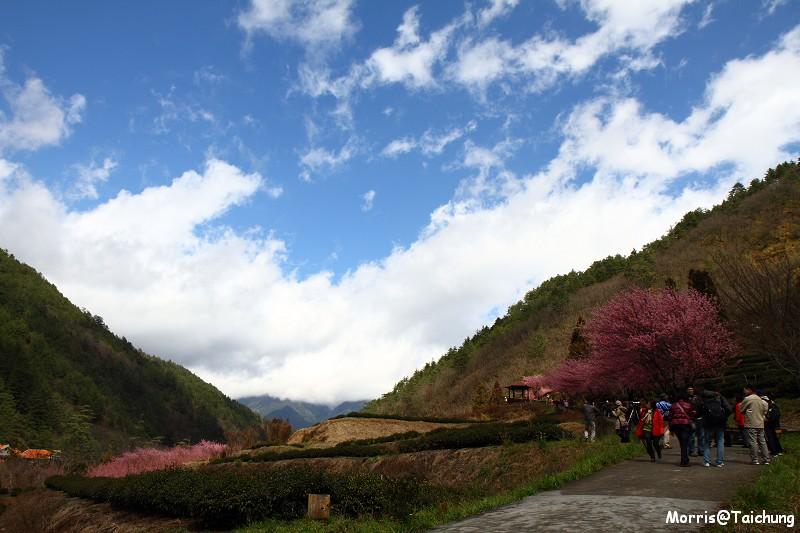 武陵農場粉紅櫻花季 (107)