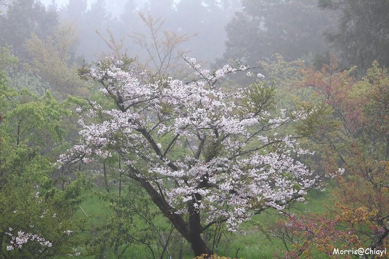 2011 阿里山櫻花季 (141)