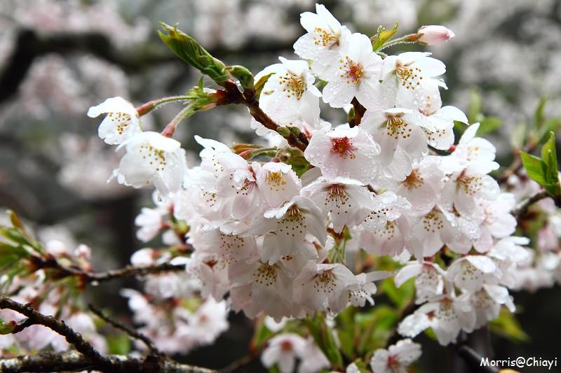 2011 阿里山櫻花季 (96)