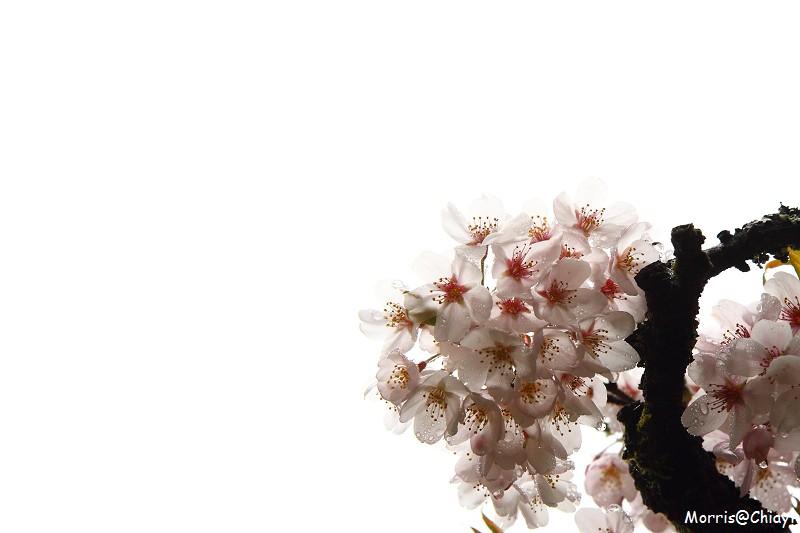 2011 阿里山櫻花季 (95)