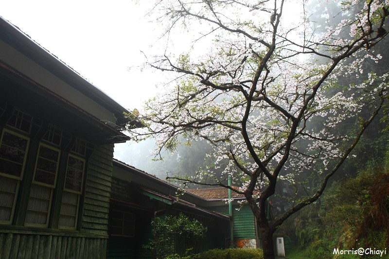 2011 阿里山櫻花季 (98)