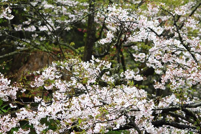 2011 阿里山櫻花季 (148)