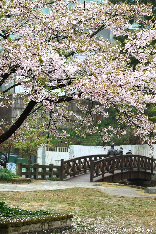 2011 阿里山櫻花季 (144)