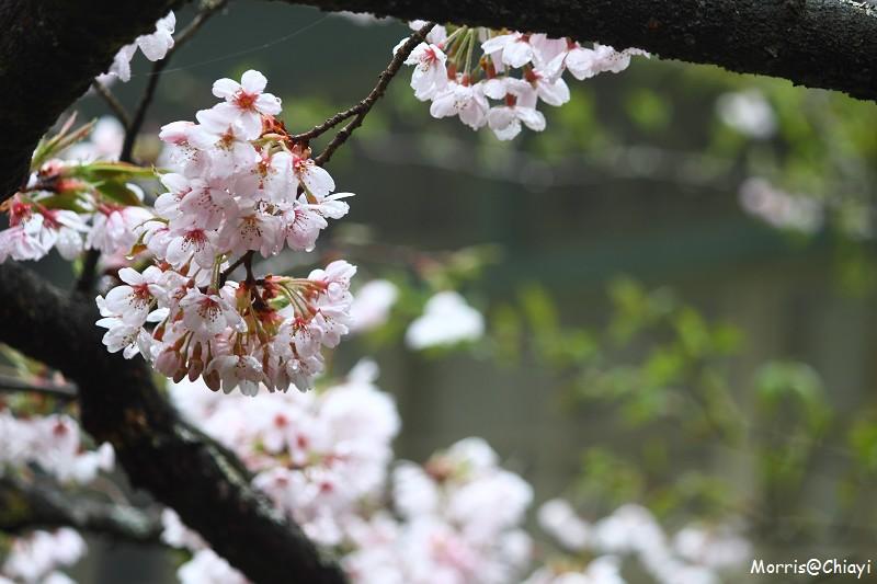 2011 阿里山櫻花季 (113)