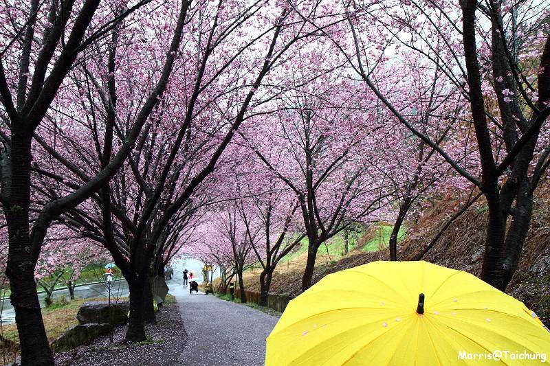 武陵農場粉紅櫻花季 (10)
