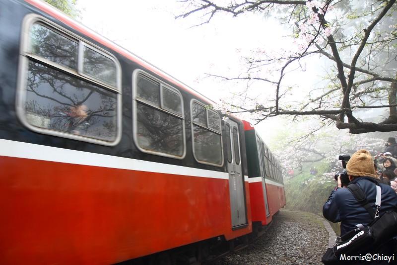 2011 阿里山櫻花季 (116)