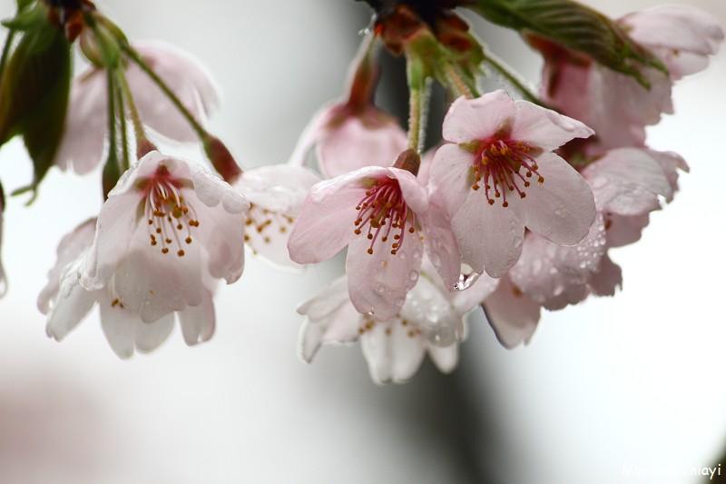 2011 阿里山櫻花季 (132)