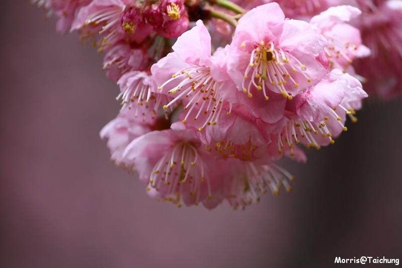 武陵農場粉紅櫻花季 (42)
