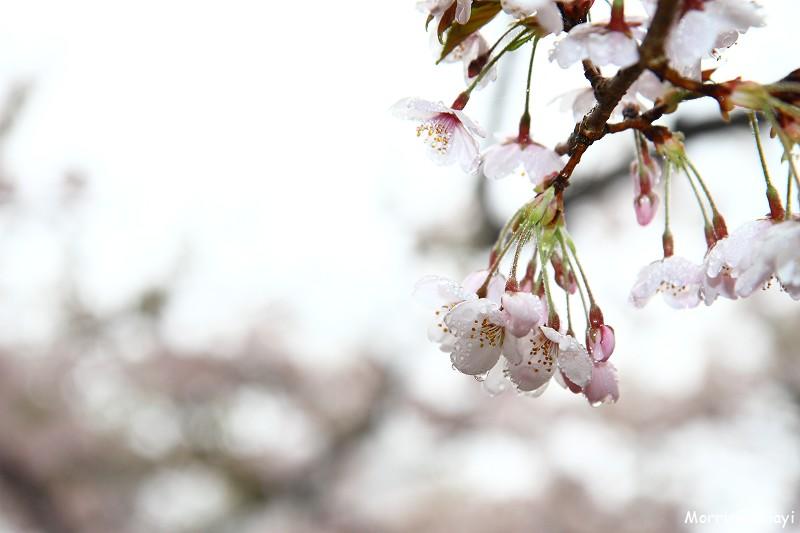 2011 阿里山櫻花季 (53)