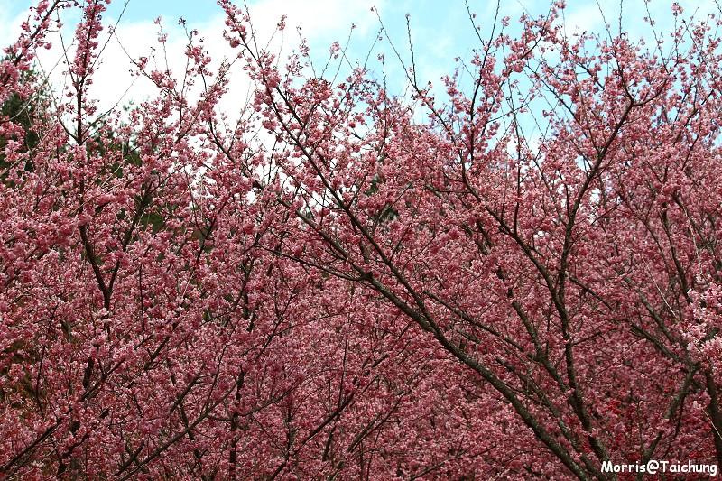 武陵農場粉紅櫻花季 (145)