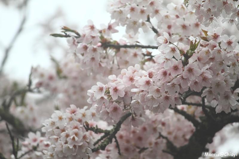 2011 阿里山櫻花季 (134)
