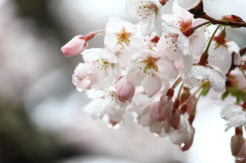 2011 阿里山櫻花季 (147)