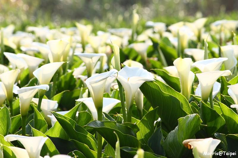 竹子湖海芋節 (18)
