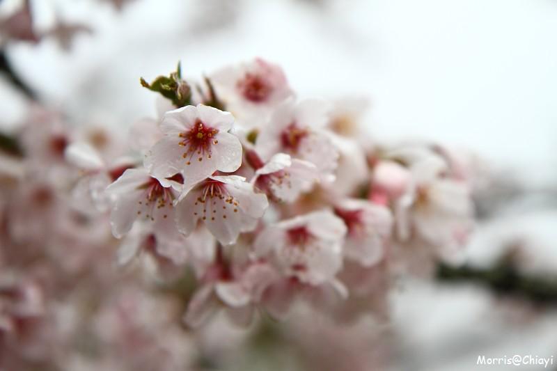 2011 阿里山櫻花季 (48)