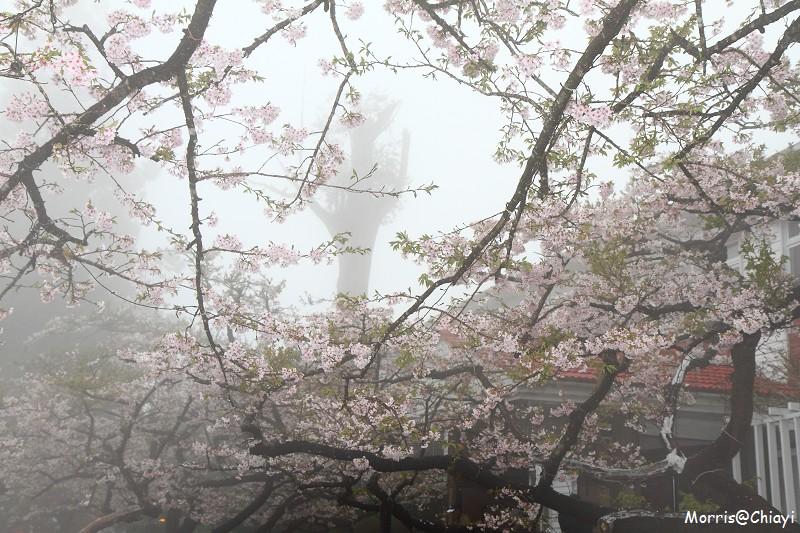 2011 阿里山櫻花季 (54)