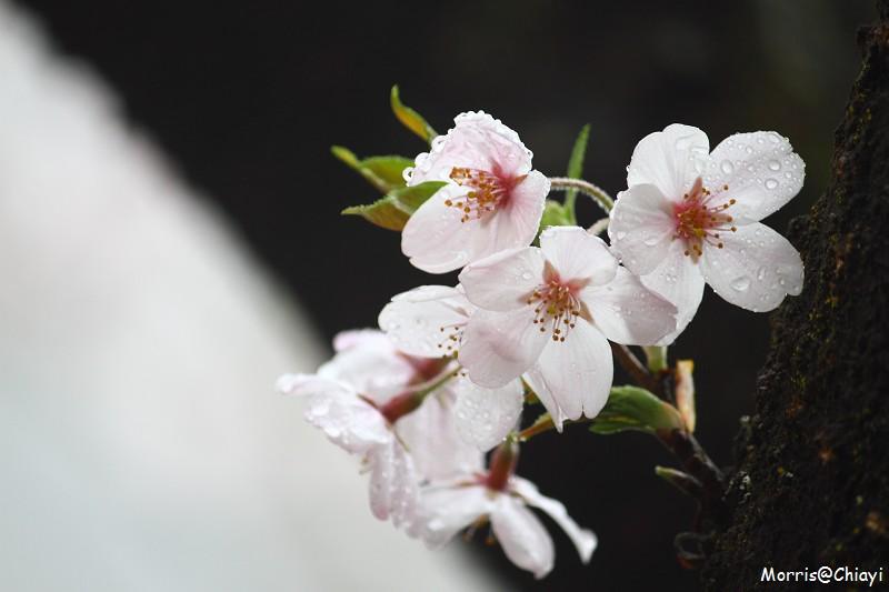 2011 阿里山櫻花季 (128)