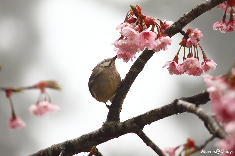 2011 阿里山櫻花季 (139)