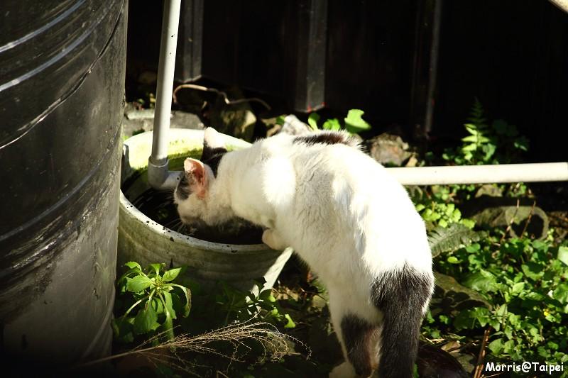 再訪猴硐貓村 (3)