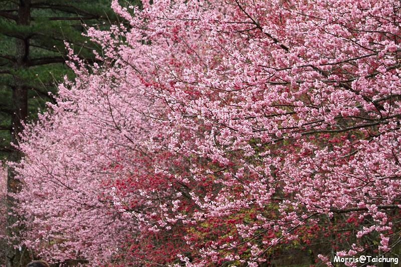 武陵農場粉紅櫻花季 (78)