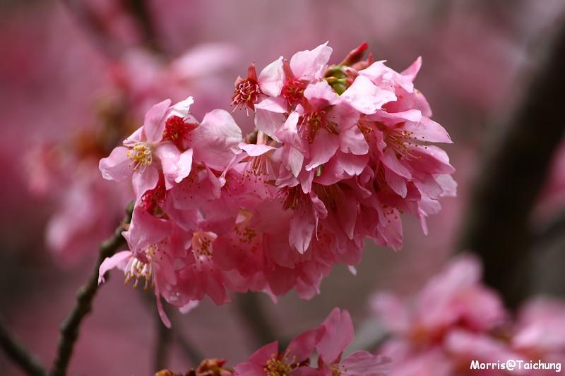 武陵農場粉紅櫻花季 (77)