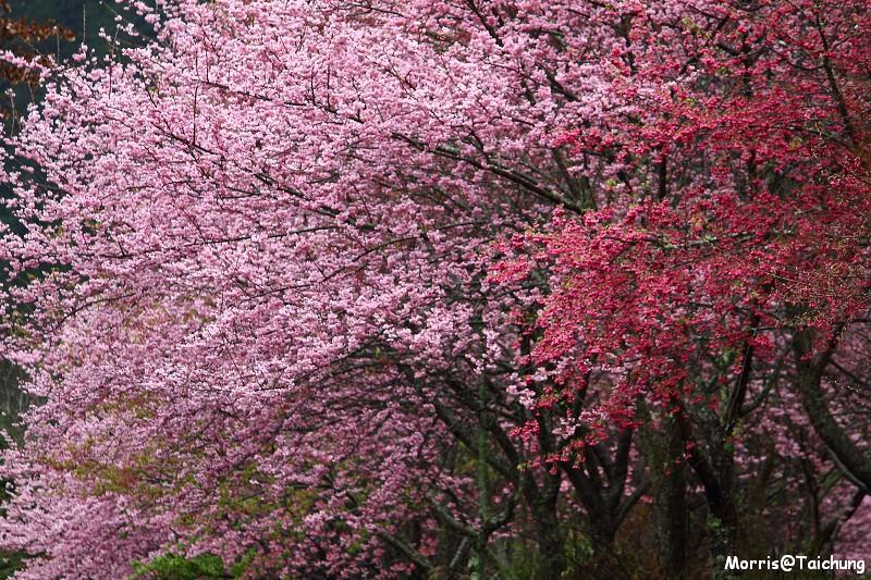 武陵農場粉紅櫻花季 (37)