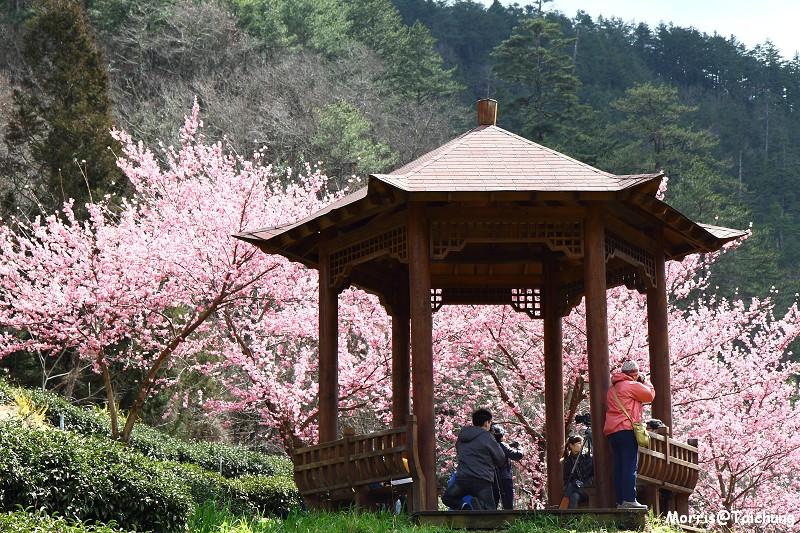 武陵農場粉紅櫻花季 (114)