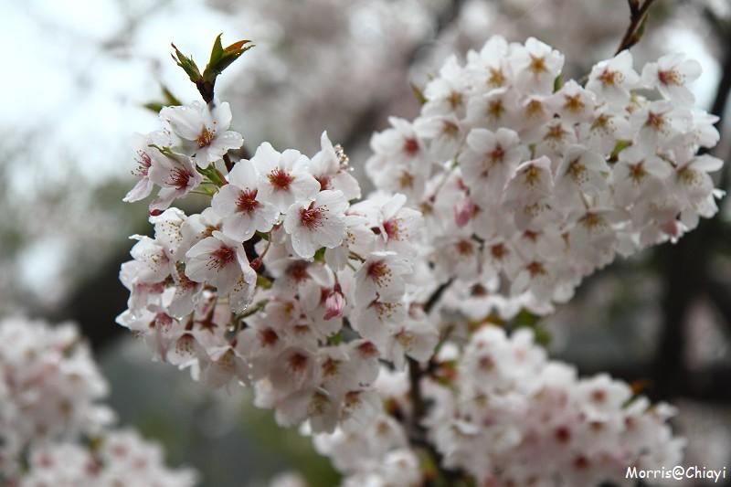 2011 阿里山櫻花季 (34)