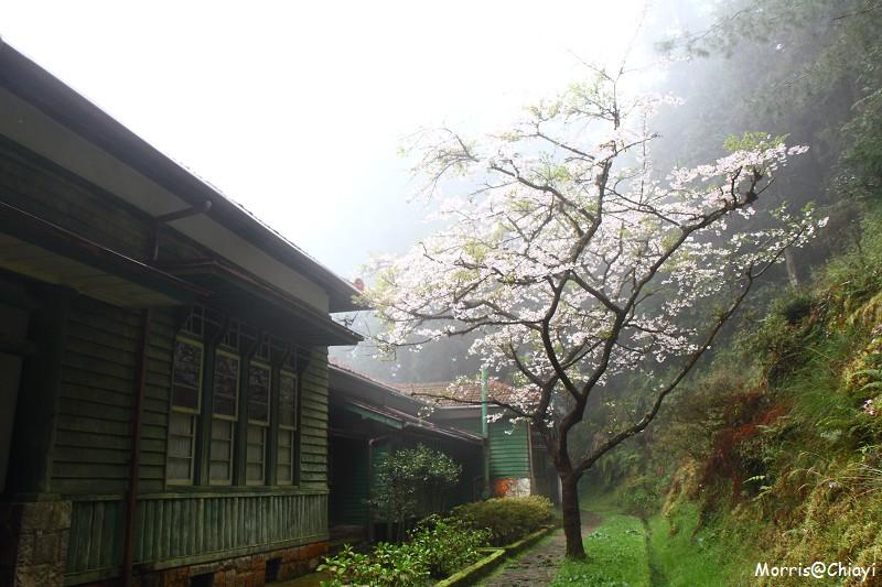 2011 阿里山櫻花季 (100)