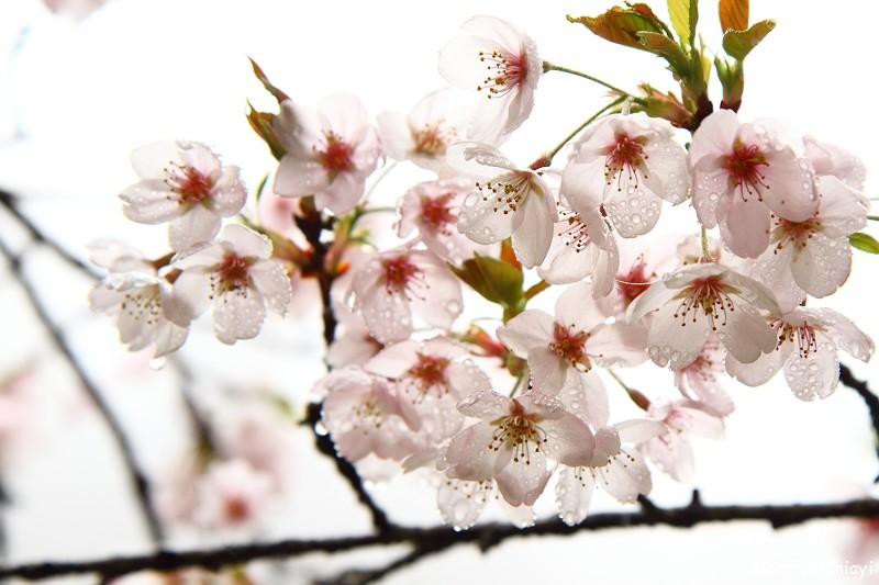 2011 阿里山櫻花季 (81)