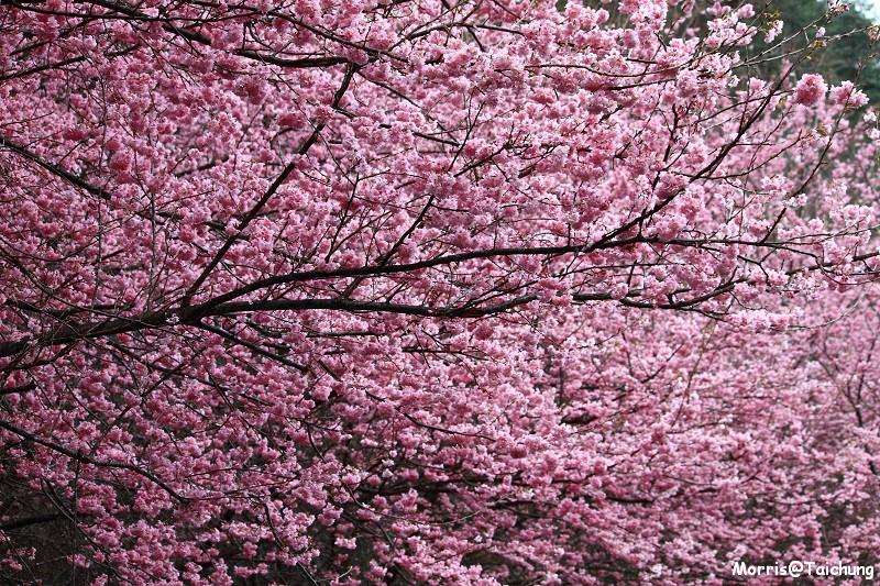 武陵農場粉紅櫻花季 (60)