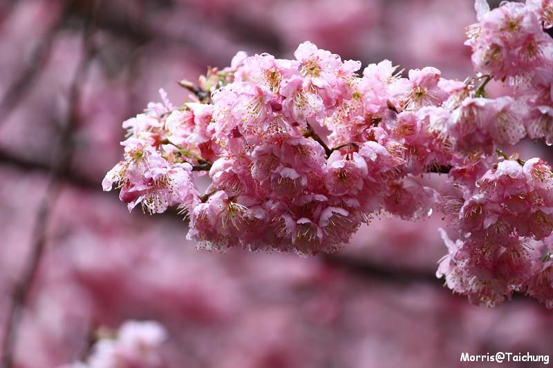 武陵農場粉紅櫻花季 (50)