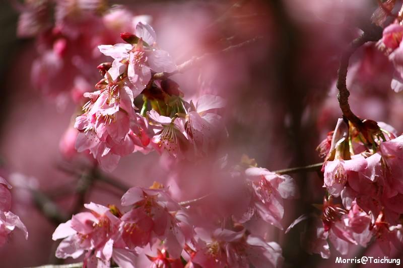 武陵農場粉紅櫻花季 (76)