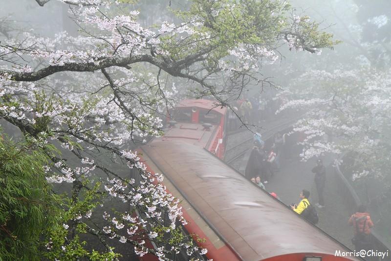 2011 阿里山櫻花季 (69)