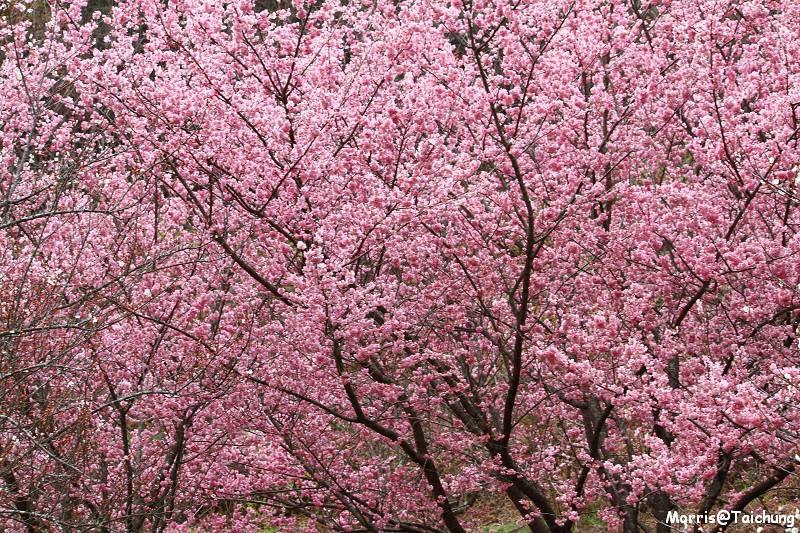 武陵農場粉紅櫻花季 (146)