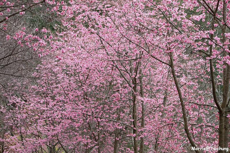 武陵農場粉紅櫻花季 (104)