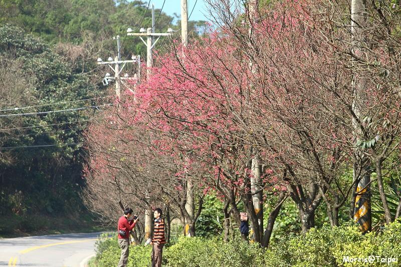 三芝櫻花大道
