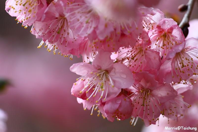 武陵農場粉紅櫻花季 (83)