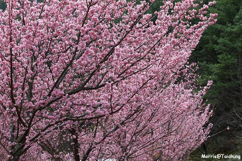 武陵農場粉紅櫻花季 (148)