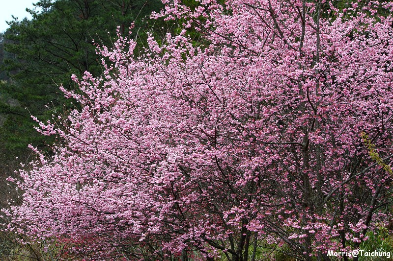 武陵農場粉紅櫻花季 (53)