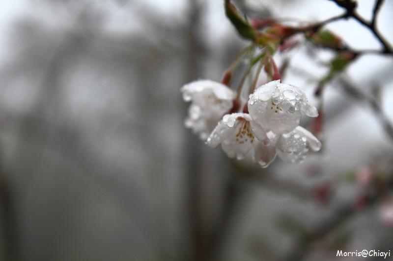 2011 阿里山櫻花季