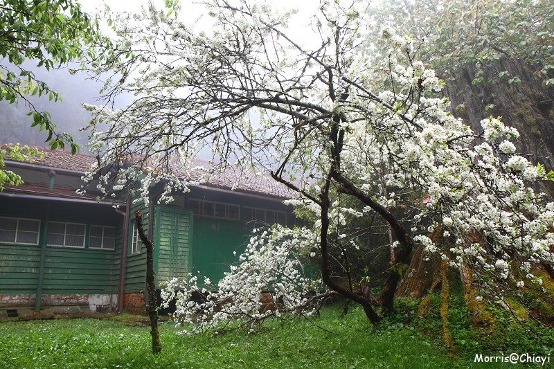 2011 阿里山櫻花季 (102)