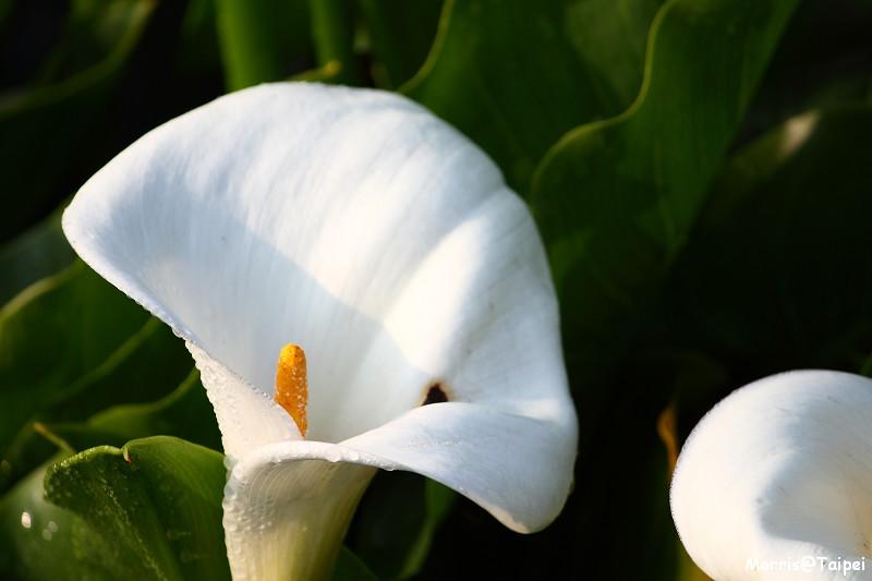 竹子湖海芋節 (7)