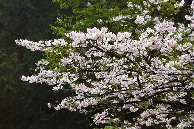 2011 阿里山櫻花季 (153)