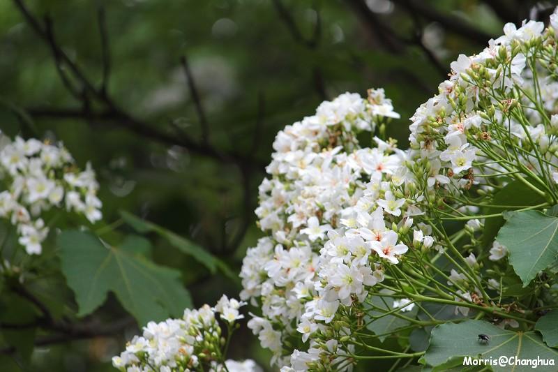 2011油桐花季 挑水古道 (15)