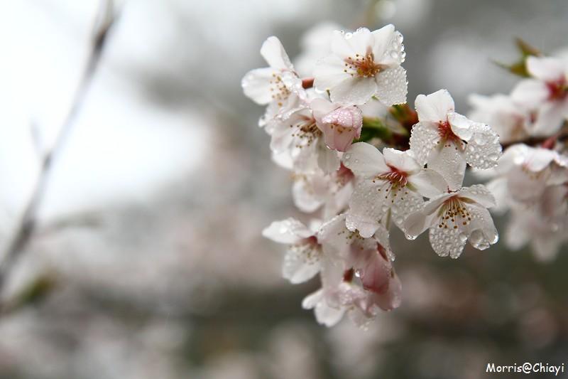 2011 阿里山櫻花季 (8)
