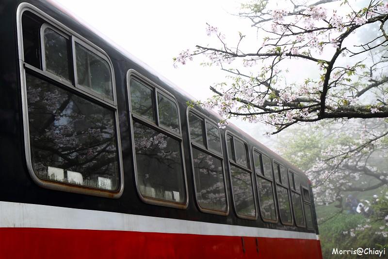 2011 阿里山櫻花季 (123)