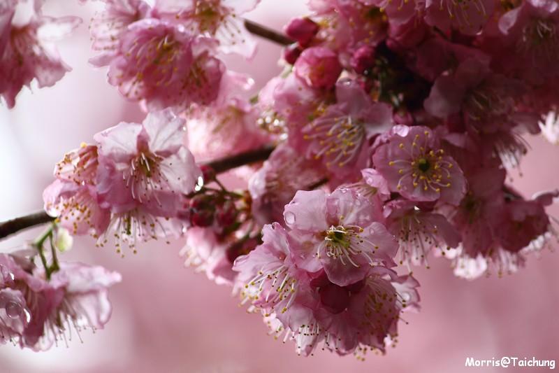 武陵農場粉紅櫻花季 (65)