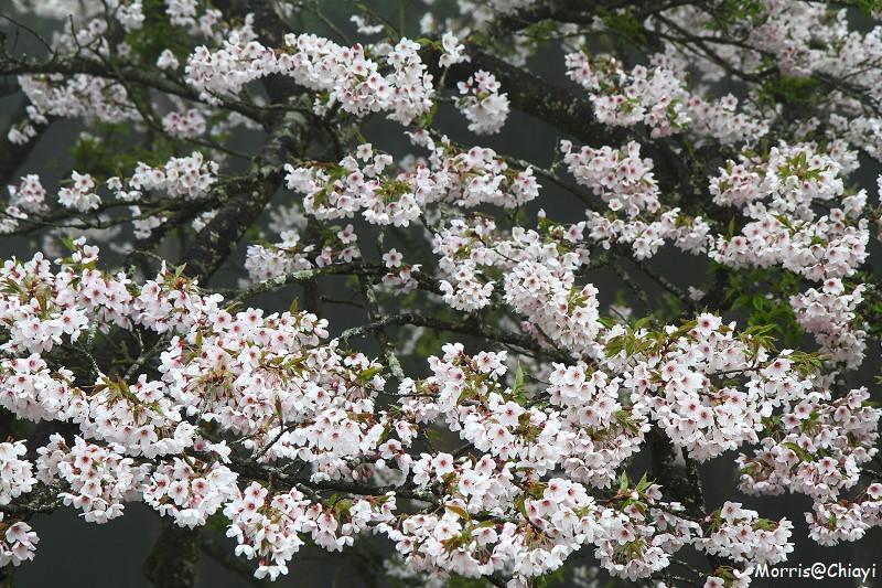 2011 阿里山櫻花季 (36)
