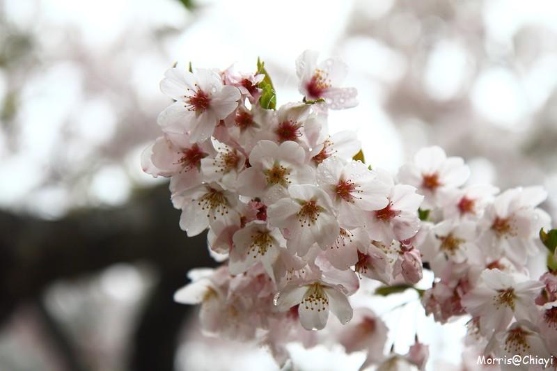 2011 阿里山櫻花季 (30)